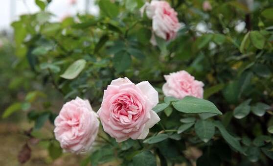 Hoa hồng Bạch Đào cổ
