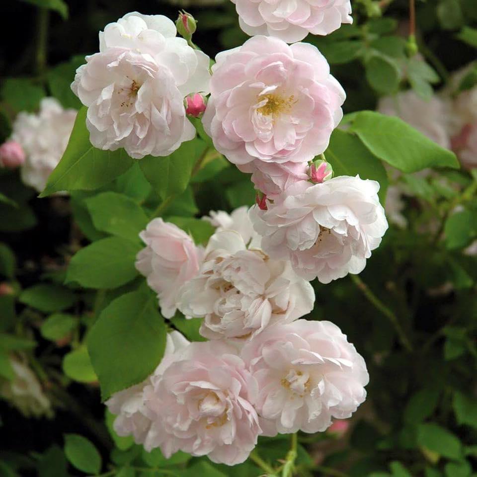 Hoa hồng cổ Đà Lạt